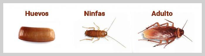 huevos ninfas adultos cucarachas