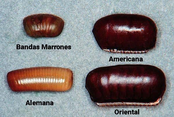 tipos de huevos de cucarachas